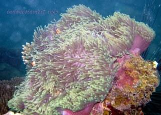 anemone fish - belitong underwater