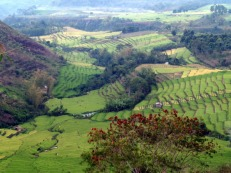 Paddy field at Lembor
