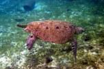 green turtle @ derawan island