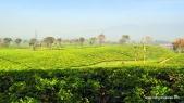 kebun teh malabar, pengalengan