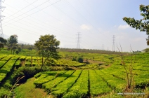 lanskap perkebunan teh, Pengalengan