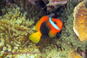 clown fish @ samalona island