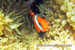 anemone fish @ samalona island