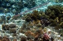 soft coral @ Kambing island