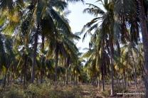 coconut trees Gili Trawangan