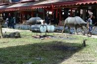 Buffalo as a sacrificial animals at Rambu Solok Ceremony, Palawa, Sadan, 2014-12