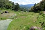 Batutumonga terrace rice field
