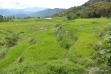 lush & green rice fields