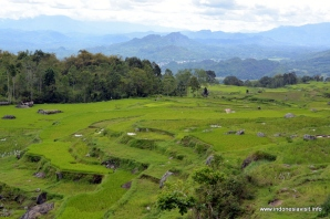 greeny ricefields