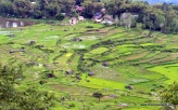 Tongkonan in between rice fields